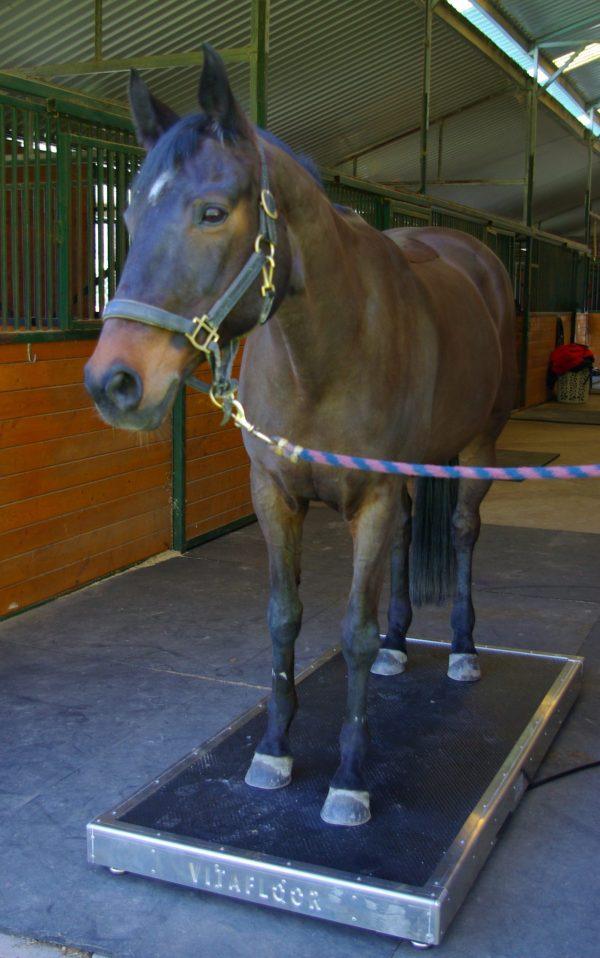 horse standing on a vitafloor horse vibration plate