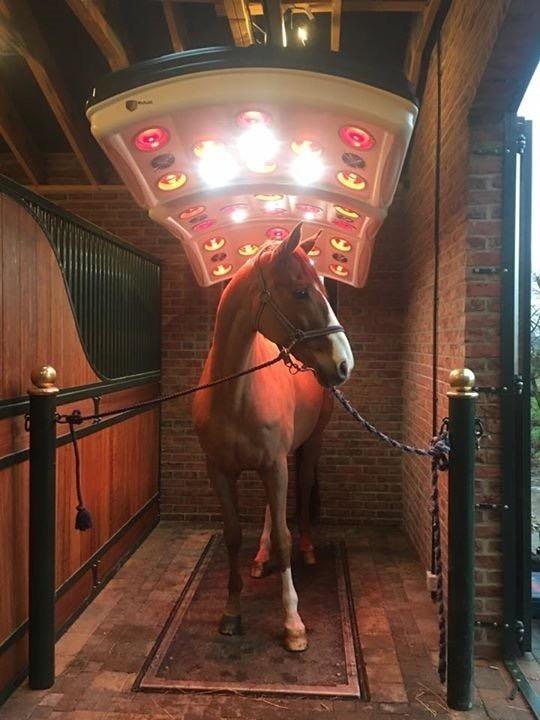 horse under maxuss solarium on vitafloor
