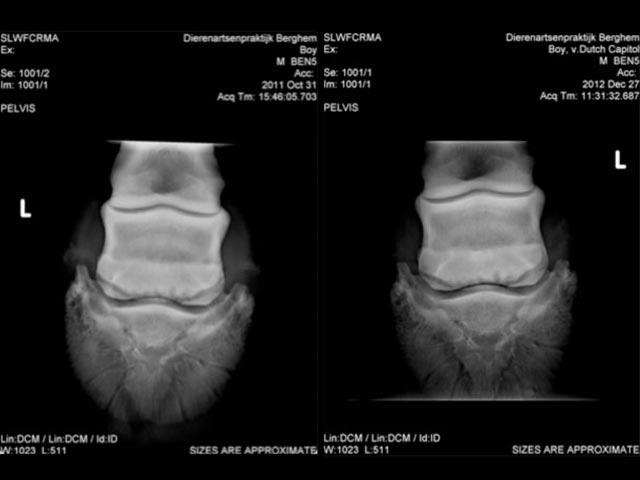 horse torn ligament recovery x-ray
