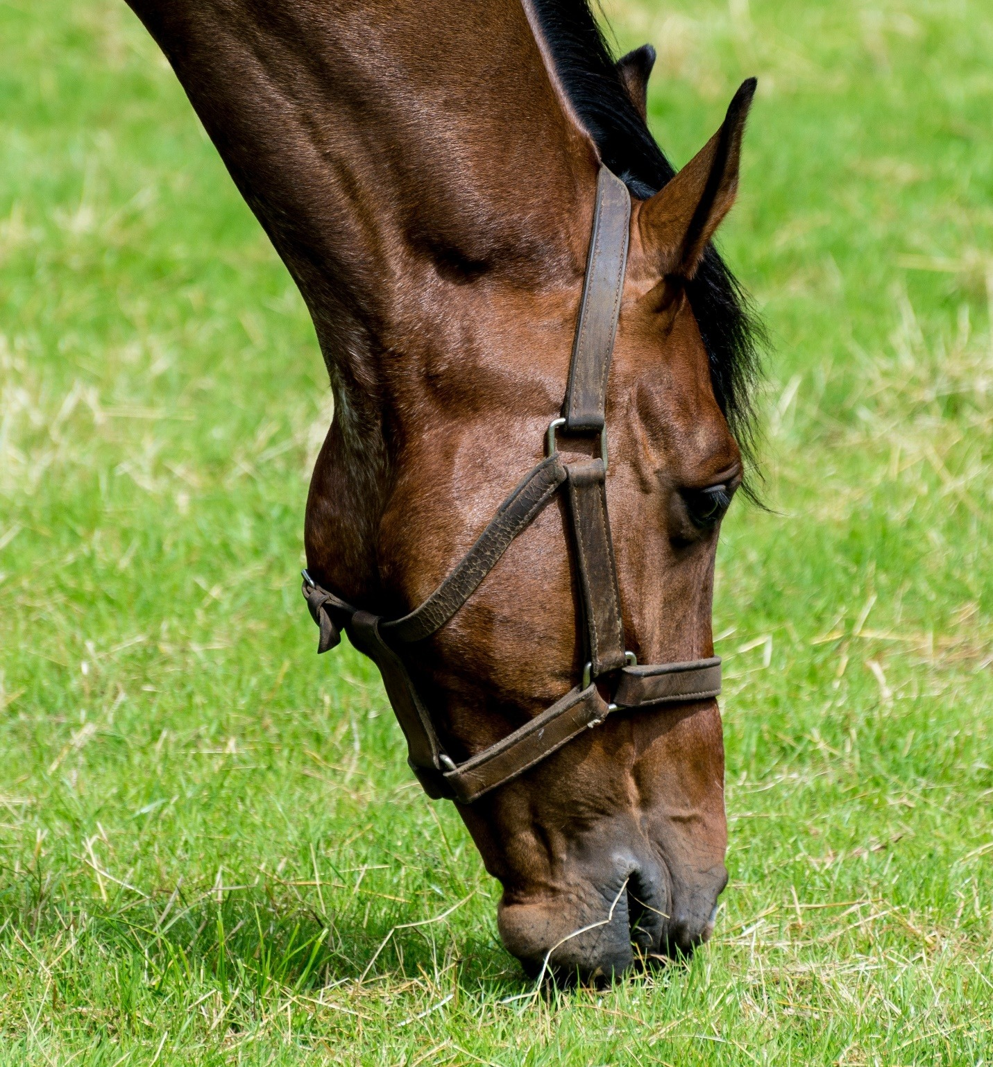 Horse grazing and chewing on grass