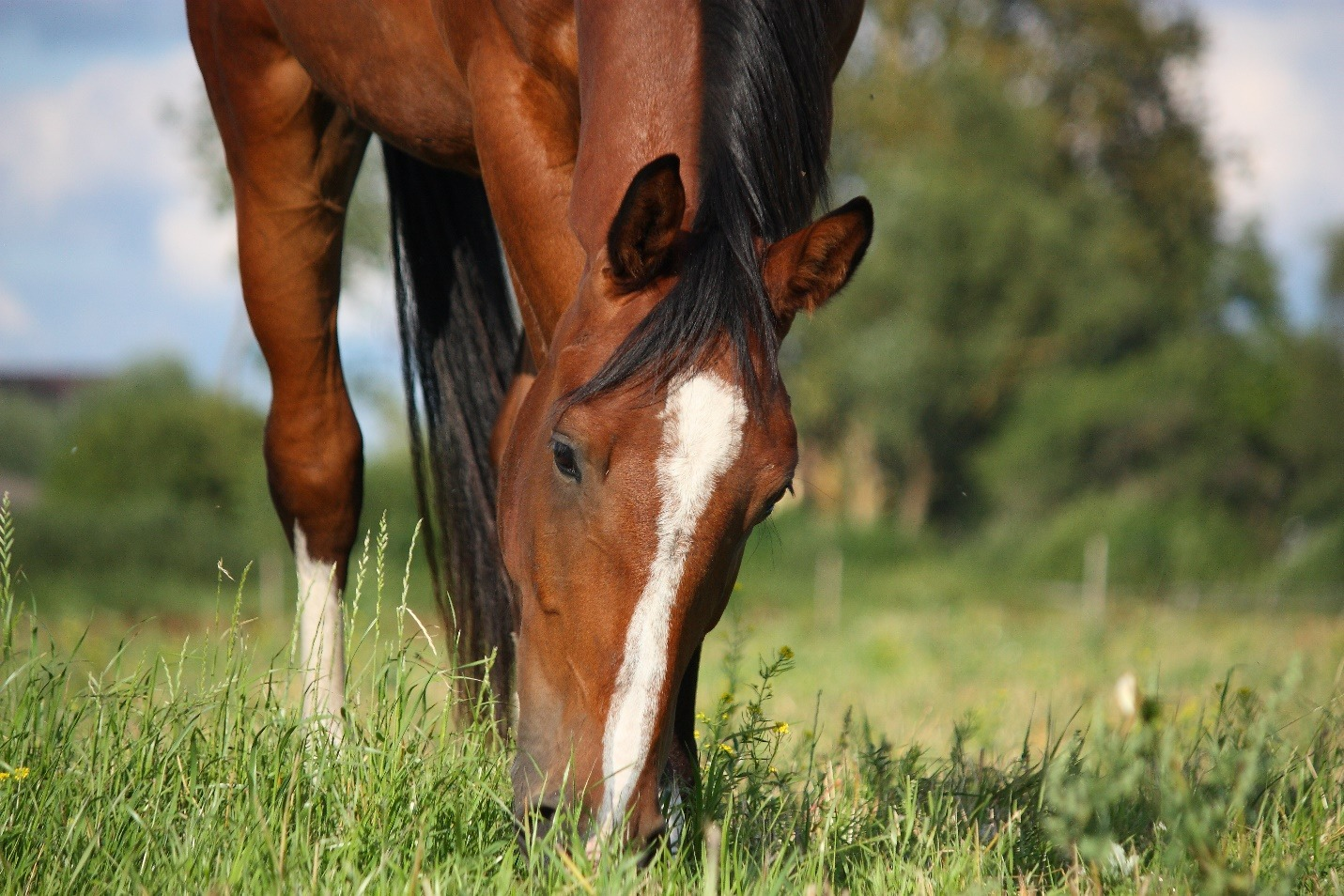 red bay horse grazing in summer