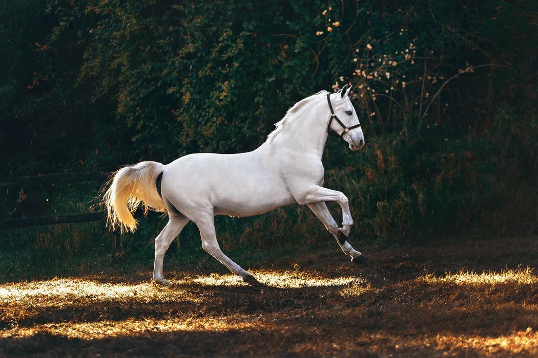 A best white horse running